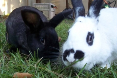 Yard-Bunnies